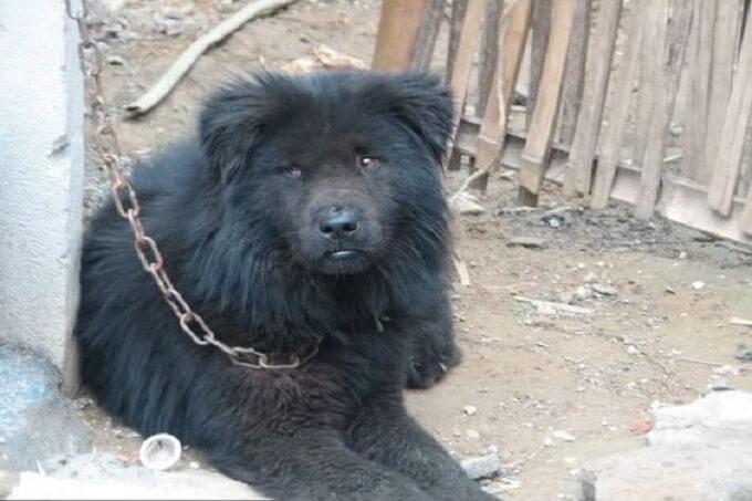 Một chú chó Bắc Hà màu đen điển hình