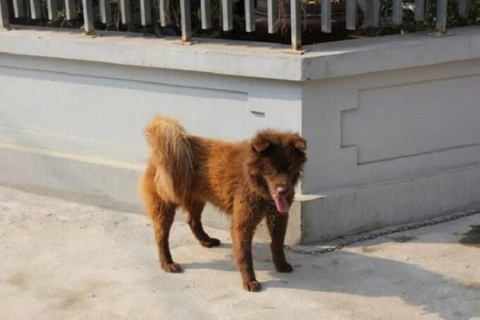 Thông tin giống chó Bắc Hà | Giá mua bán chó Bắc Hà Tphcm và Hà Nội bao nhiêu tiền?