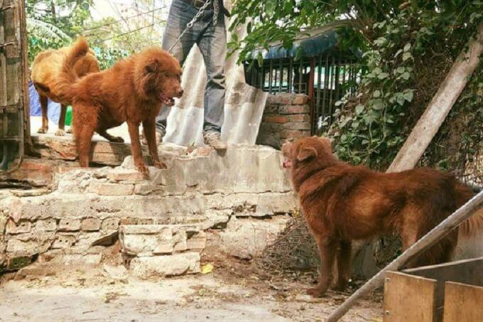 Nuôi chó Bắc Hà đang thành trào lưu trong 3 năm trở lại đây. Giá bán một chú chó Bắc Hà đẹp có thể lên đến vài chục hoặc cả trăm triệu đồng