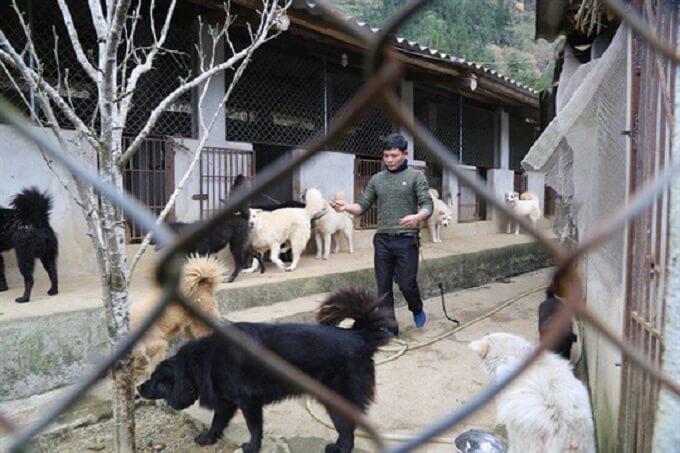 Một trang trại chuyên nhân giống chó Bắc Hà