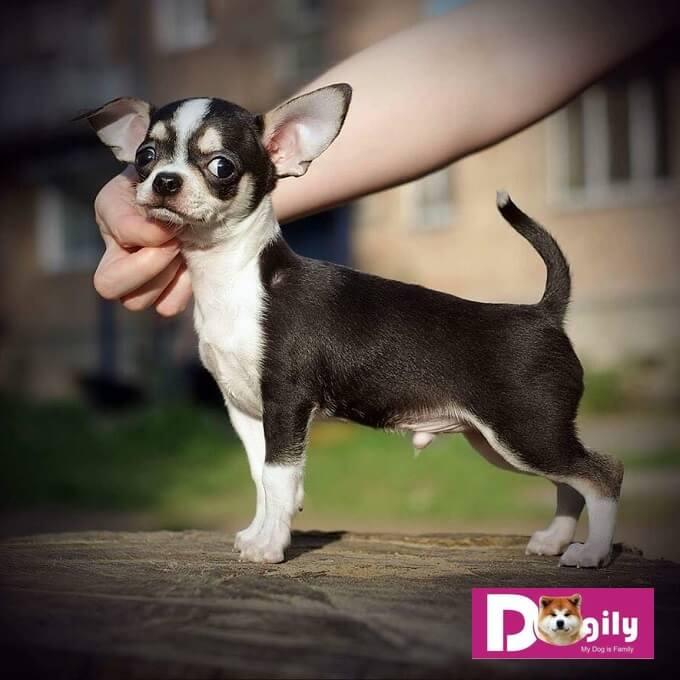 Do cấu tạo cơ thể nhỏ bé. Nên số lượng con mỗi lần sinh sản của chó chihuahua rất ít. Thường mỗi lần từ 1-3 con.