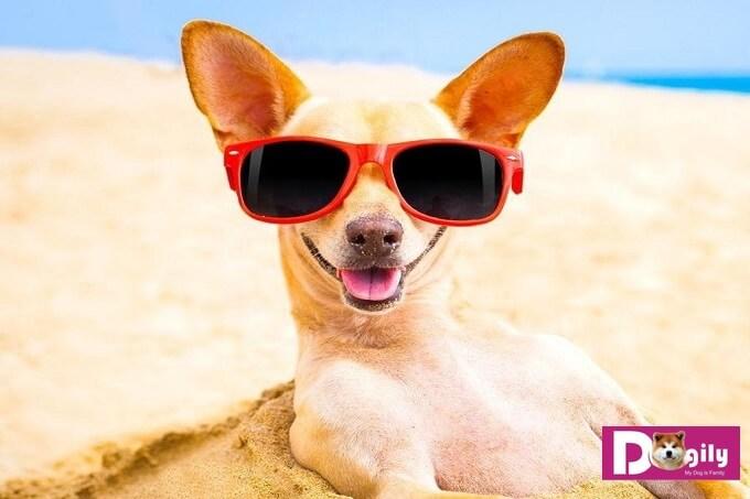 Chó chihuahua có tính cách rất hoạt bát và vui nhộn