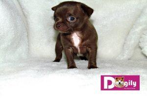 Bán chó chihuahua nhập khẩu Ucraina size tiny tháng 05/2018