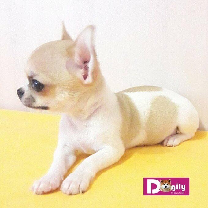 Bán chó chihuhua nhập khẩu Ucraina tháng 11.2018. Dogily Petshop 2