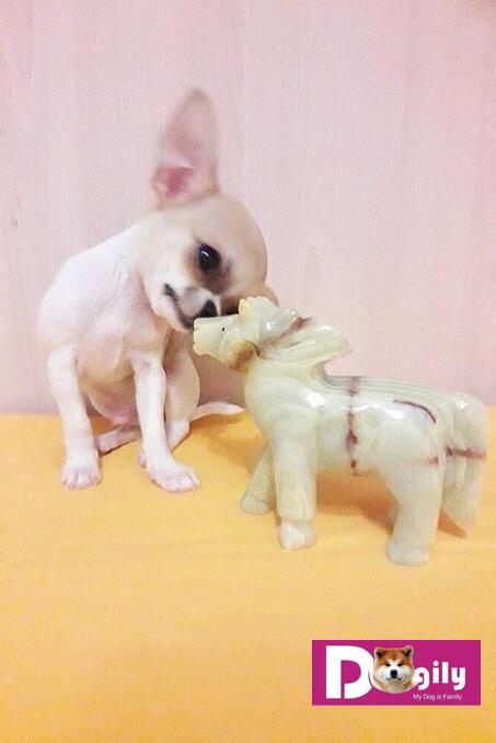 Tiêu chuẩn, giá mua bán chó chihuahua hà nội và tphcm bao nhiêu tiền?