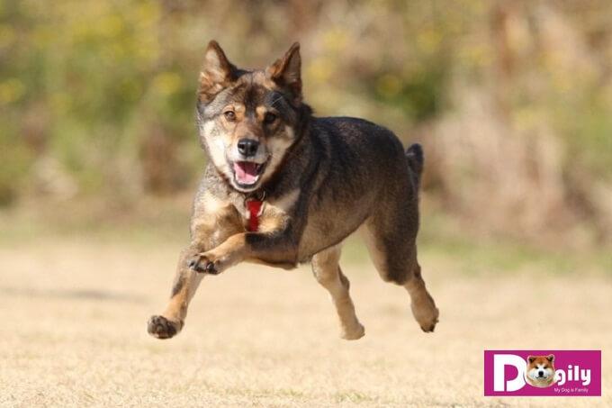Chống Sói lai chó Nhật Bản: Kawakami