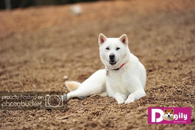 Chó Kishu Inu Nhật Bản với màu trắng đặc trưng duy nhất. Các màu khác không được chấp nhận ở giống chó này