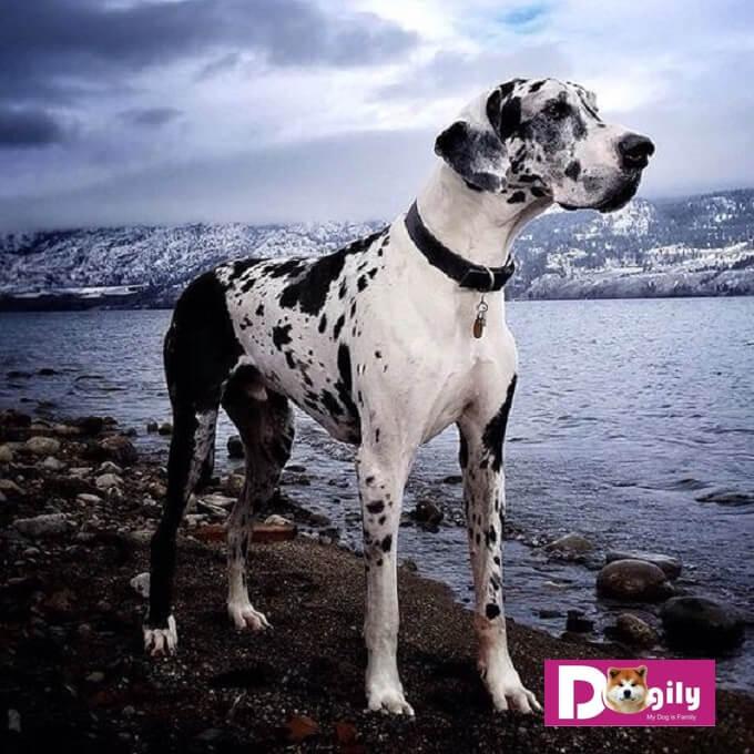 Nhìn chung, với cấu trúc cơ thể to lớn. Chó Great Dane có một nền tảng thể lực tuyệt vời