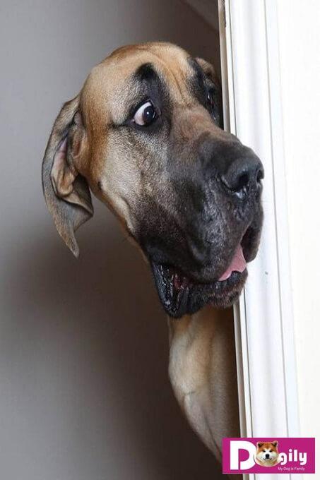 Chó Great Dane - Chàng khổng lồ ngốc nghếch