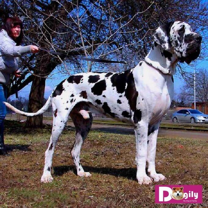 Chó great dane là giống chó có thể nói là to lớn nhất trên thế giới