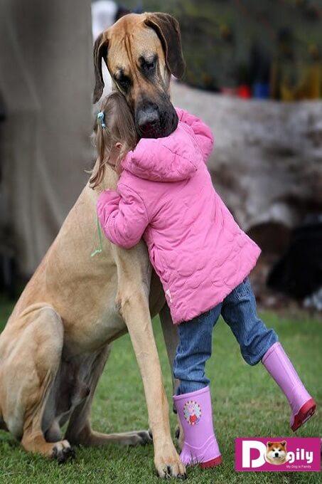 Ngoại hình khổng lồ của một chú chó Great Dane