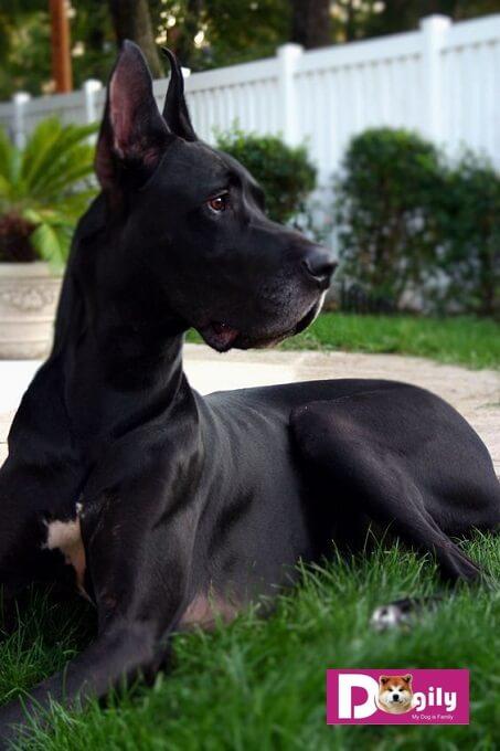 Giống chó Great Dane có lịch sử từ hàng ngàn năm trước