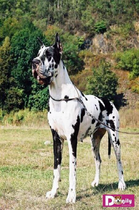 Giá bán chó Great Dane ở Hà nội và Tphcm hiện nay tương đối dễ chịu