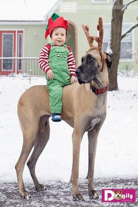 Tuy có ngoại hình cao lớn và Cool Ngầu. Nhưng thực ra chó Great Dane rất hiền và tốt bụng. Chúng đặc biệt thích chơi đùa với trẻ em