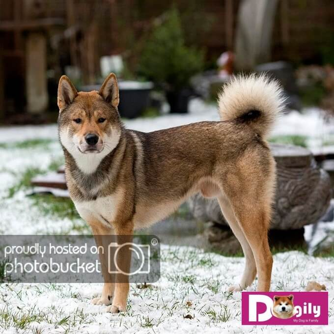 Chó Shikoku Ken Inu Nhật Bản