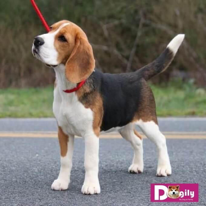 Bạn có thể mua chó Beagle con online hoặc tại hệ thống Dogily Petshop tại Hà Nội và Tphcm