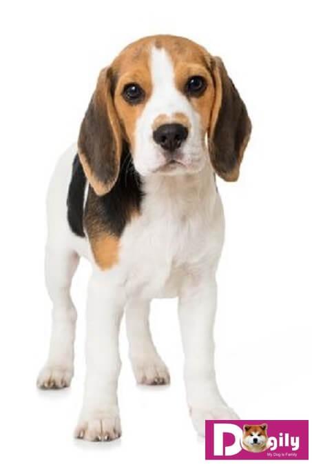 Chó Beagle là giống chó cổ xưa. Chúng là họ hàng gần với giống chó săn chân lùn Basset hound