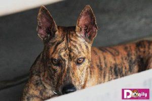 Chó Phú Quốc là giống chó bản địa quý. Được coi như một trong tứ đại quốc khuyển của Việt Nam