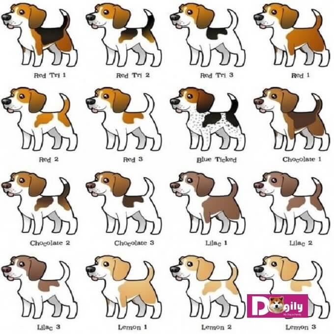 Bảng màu lông tiêu chuẩn của chó Beagle.