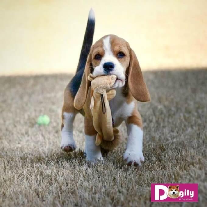 Do rất tình cảm và thân thiện. Vì vậy, chó beagle không thích bỏ lại một mình trong chuồng hoặc sân sau. Hạnh phúc lớn nhất của chúng là được vui đùa bên chủ nhân.