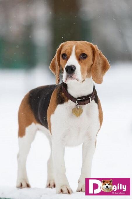 Chó Beagle là giống chó cổ xưa. Chúng là họ hàng gần với giống chó săn chân lùn Basset hound.