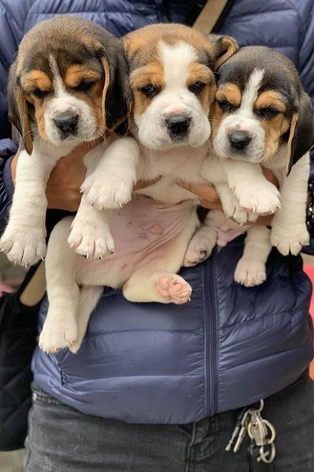 Bạn cần tìm hiểu kỹ trước khi mua chó Beagle. Nên mua chó con thuần chủng từ những người bán có uy tín để tránh gặp phải các bệnh di truyền, tật, lỗi không đáng có.