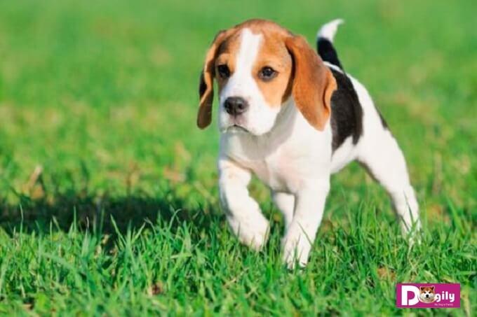 Chó Beagle tuy có thân hình nhỏ gọn nhưng cực kỳ nhanh nhẹn. Trong lịch sử chúng được sử dụng để săn những loài thú nhỏ đặc biệt là thỏ.
