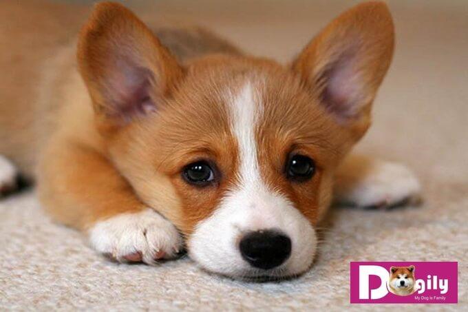 Chó buồn bã không màng ăn uống