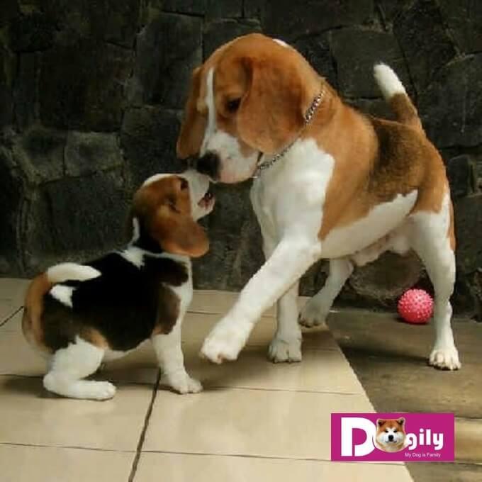 Ngày nay, chó Beagle được nuôi như là chó đồng hành trong gia đình.