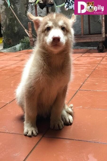 Bán đàn chó Husky 12.2018 – Dogily Petshop 3