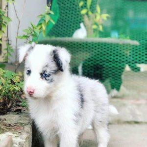 Bán đàn chó Border collie tuyệt đẹp tháng 12.2018. Đực cái đầy đủ. Bảo hành sức khỏe, tư vấn trọn đời