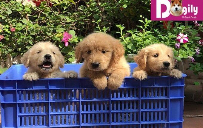 Giấy tờ đầy đủ gòm: Hợp đồng mua bán, sổ tiêm chủng, giấy bảo hành, hướng dẫn chăm sóc chó con