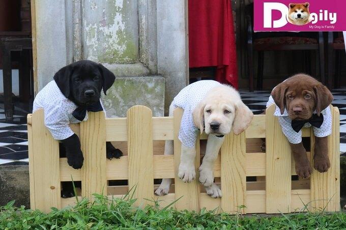 Bán đàn chó Larbrador cực đẹp. Hình ảnh các bé Lab màu nâu đỏ, đen, trắng. Các bé đều rất bụ bẫm, chân tay to khỏe, mập mạp