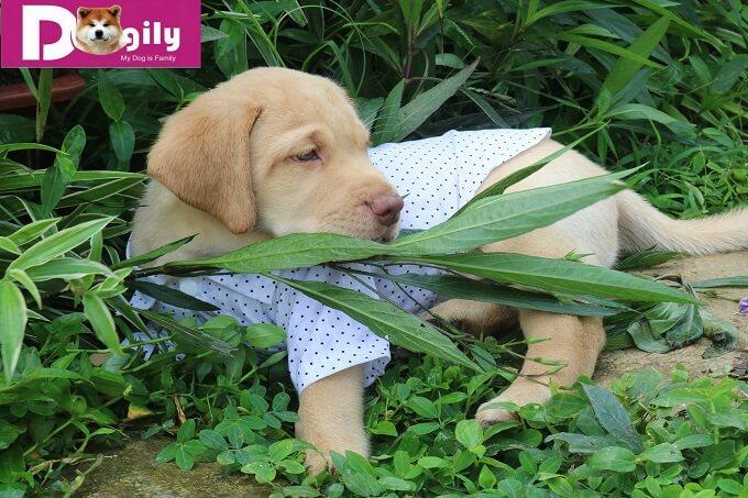 Một em Labrador màu kem tuyệt đẹp - Dogily Petshop