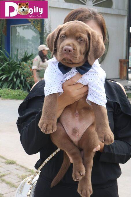 Mua bán chó Labrador Retriever tại Tphcm và Hà nội ở đâu, giá bao nhiêu tiền ?