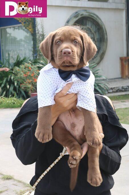 Bán đàn chó Labrador tháng 12.2018 - Dogily Petshop 5