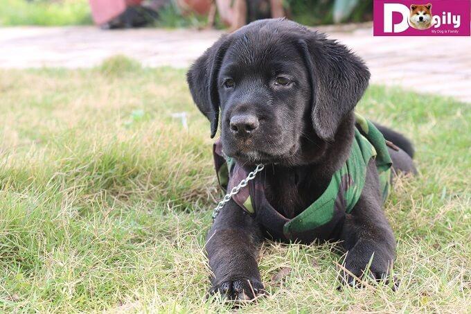 Bán đàn chó Labrador tháng 12.2018 - Dogily Petshop 8