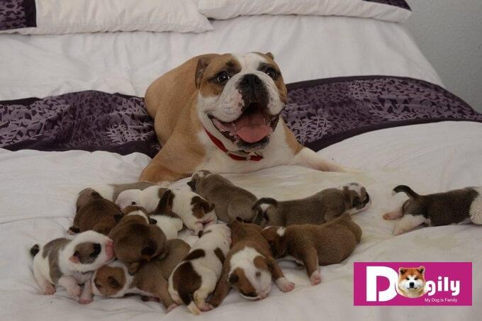 Bạn cần biết cách chăm sóc chó mẹ mới đẻ. Để phòng tránh những bệnh có thể mắc phải khi chó mẹ sức khỏe yếu sau khi sinh nở