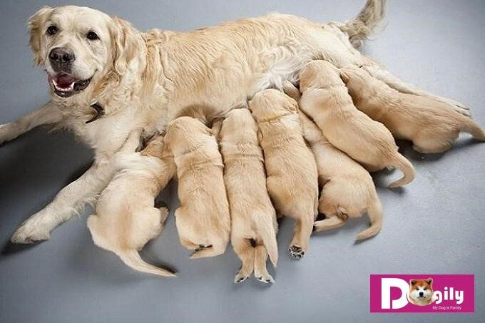 Để biết thêm kiến thức về cách chăm sóc chó mẹ mới sinh. Bạn có thể liên hệ online hoặc trực tiếp tại trang trại Dogily Kennel để được hướng dẫn chi tiết