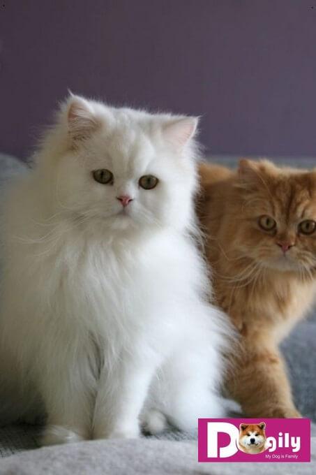 Do có bộ lông dày, dài. Mèo Ba tư cần được chải lông thường xuyên hàng ngày để loại bỏ lông chế
