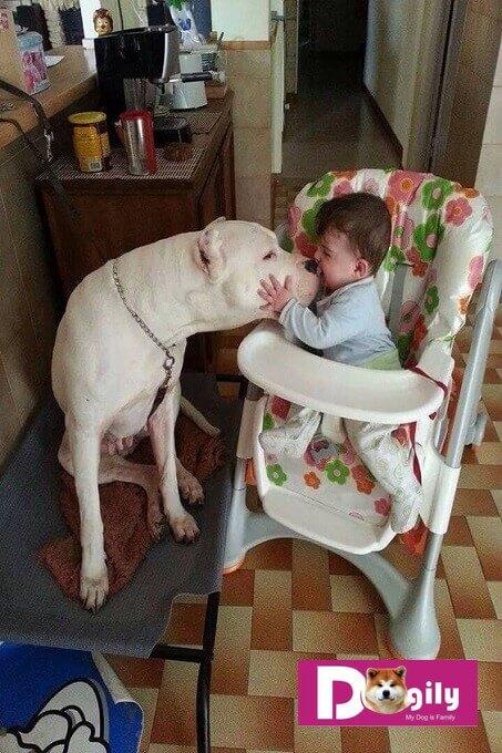 Chó Dogo mặc dù tương đối ngầu nhưng lại rất thân thiện với trẻ em.