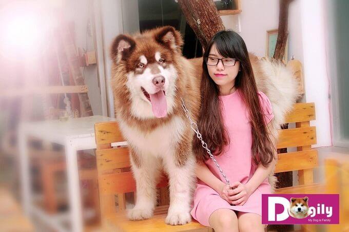 Chú chó Ato thuộc giống chó Alaska khổng lồ với cân nặng trên 70 kg