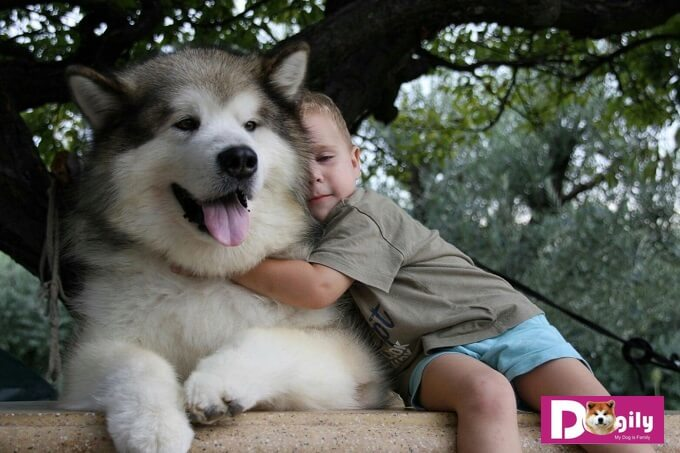 Chó alaska có tính cách cực kỳ thân thiện và thích chơi cùng trẻ em