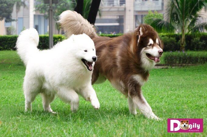 Một số đặc điểm cơ bản của giống chó Alaska Giant khổng lồ