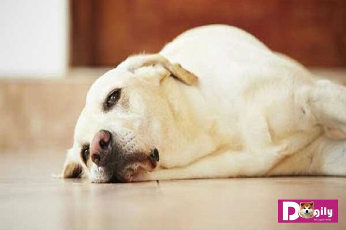 Chó mệt mỏi, ngủ nhiều hơn trước khi có thai