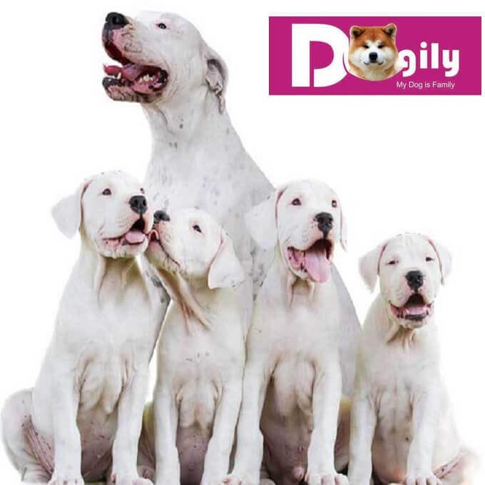 Bạn nên nuôi chó Dogo ngay từ khi còn nhỏ để dễ huấn luyện