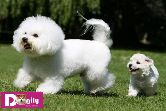 Chó Bichon có tính tình vui vẻ và rất thích nô đùa. Bạn nên dành thời gian hàng ngày để chơi đùa với cún cưng của mình.