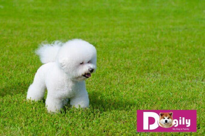 Chó Bichon có nguồn gốc từ Pháp nhưng cũng xuất hiện ở Tây Ban Nha và nhiều nước châu Âu khác.