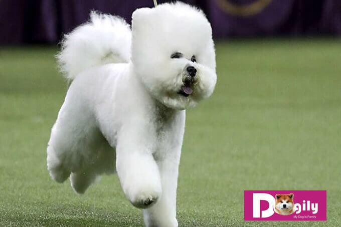 Bạn nên cho chó Bichon con vận động vừa phải. Tránh nô đùa quá mức dễ bị ảnh hưởng về sự phát triển hệ xương khớp của chó.