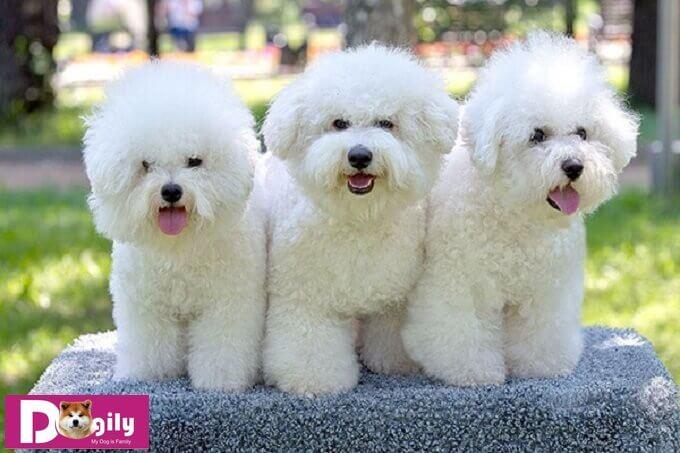 Bạn có thể mua chó Bichon online hoặc tại hệ thống Dogily Petshop Hà nội và thành phố Hồ Chí Minh